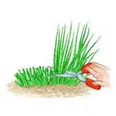 Plant de ciboulette