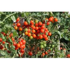 Tomates cerises rouges (variétés anciennes)